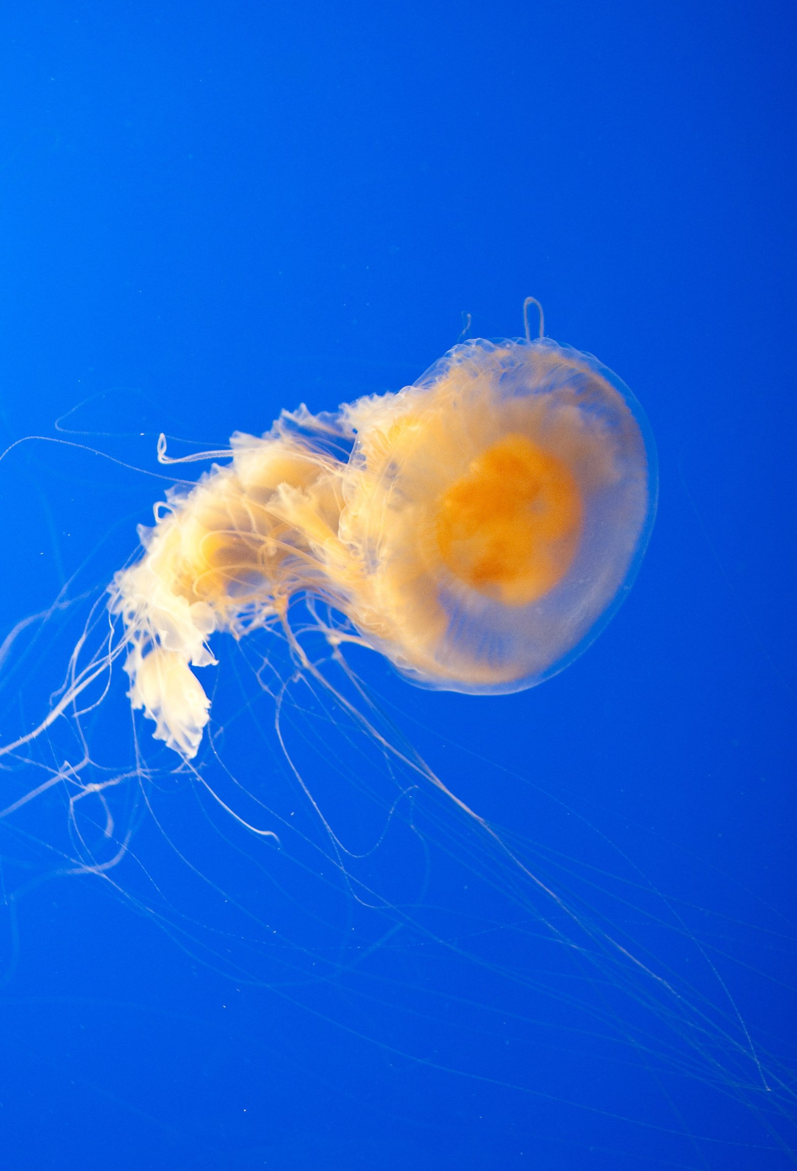 Photo of a Fried Egg Jellyfish (Phacellophora camtschatica) at Monterey Bay Aquarium.