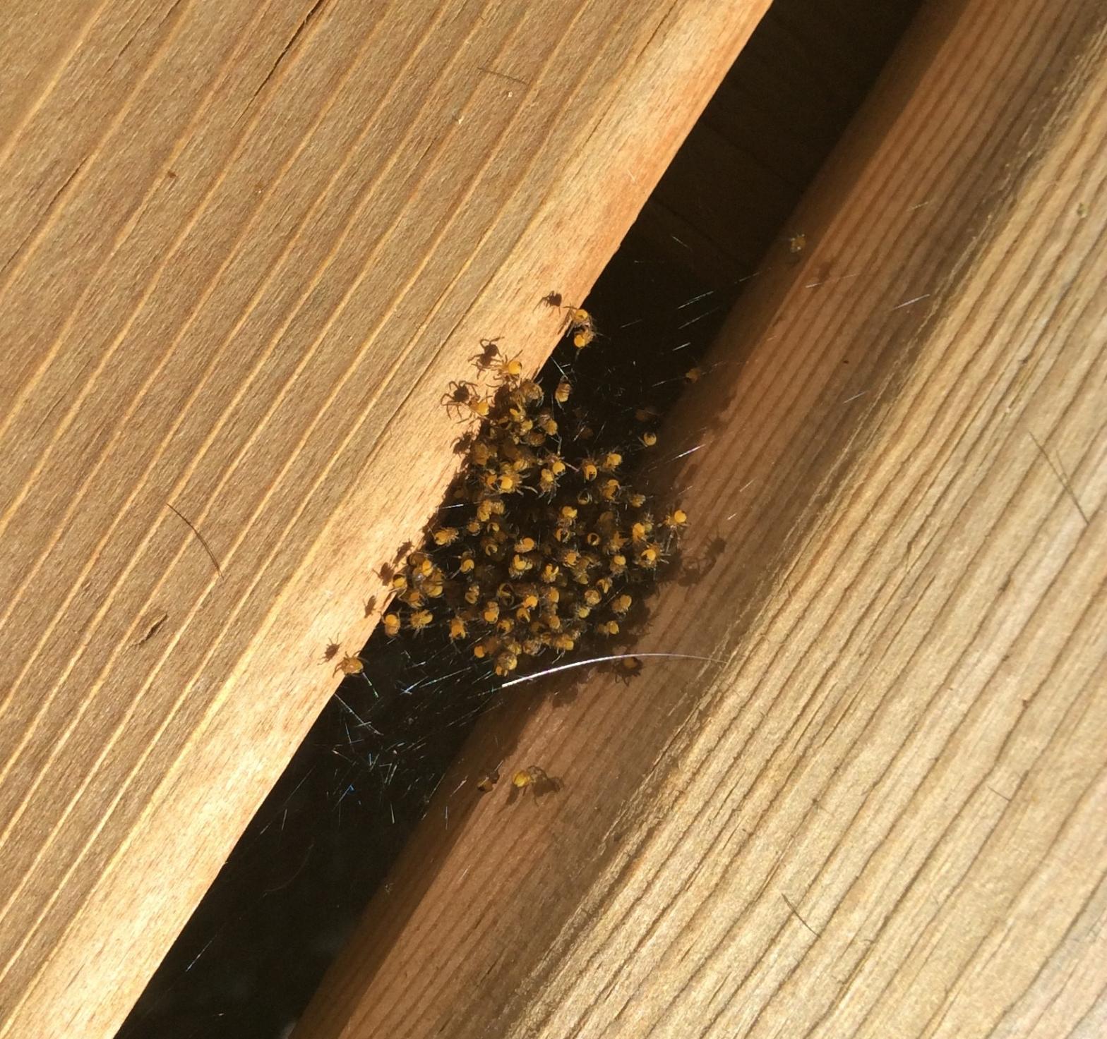 Next of baby Garden Spiders between the boards of the deck.